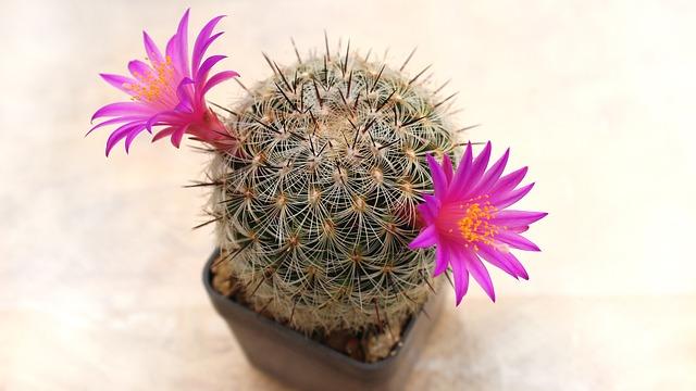 květy kaktusu